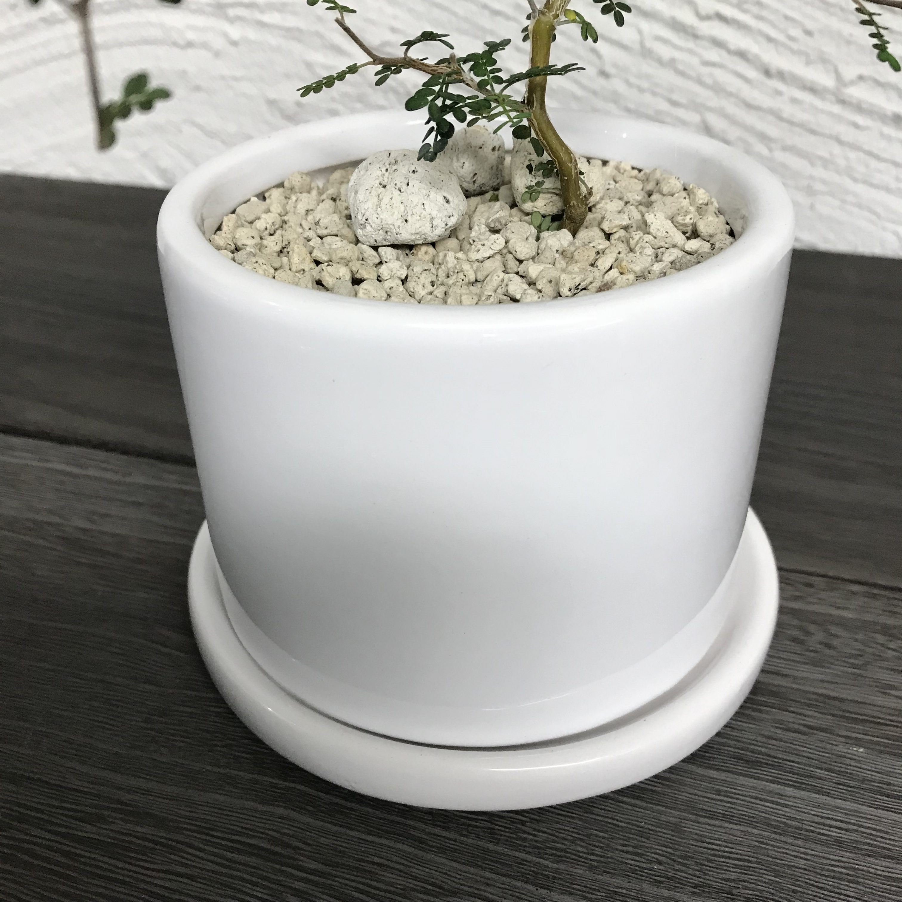 Sophora microphylla × TATE HG-13