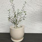 Sophora microphylla × AUSTERE MID