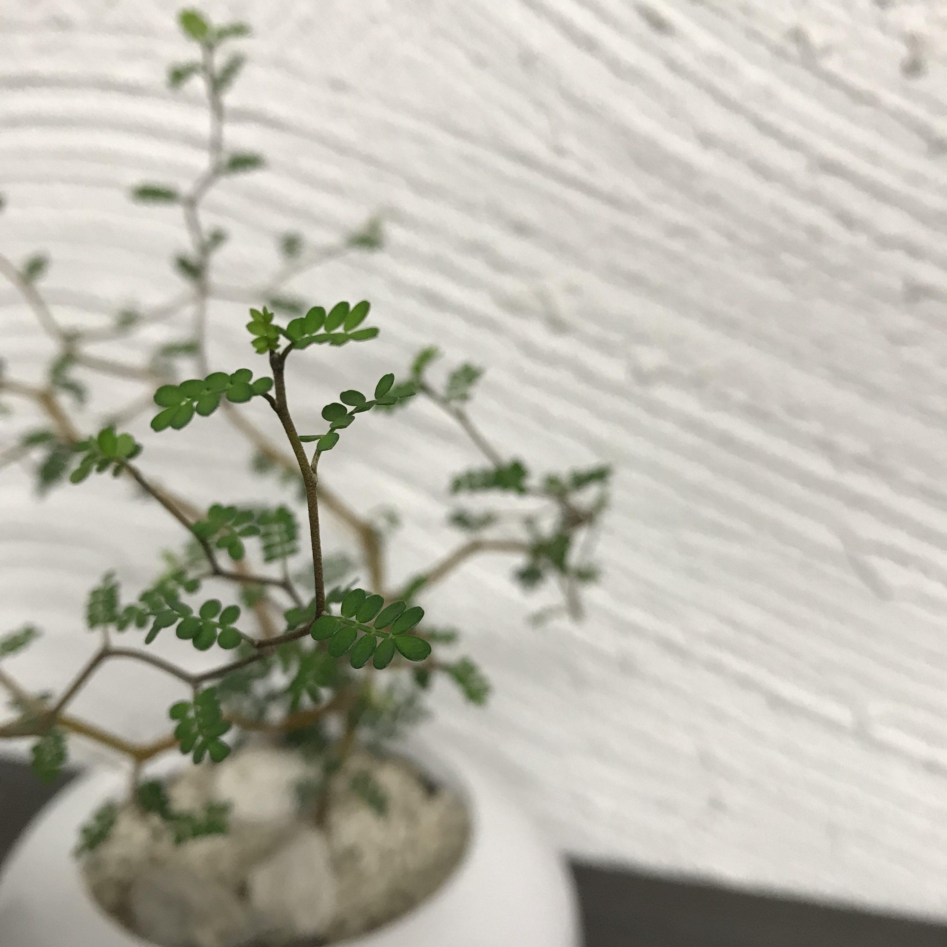 Sophora microphylla × TATE HG-12