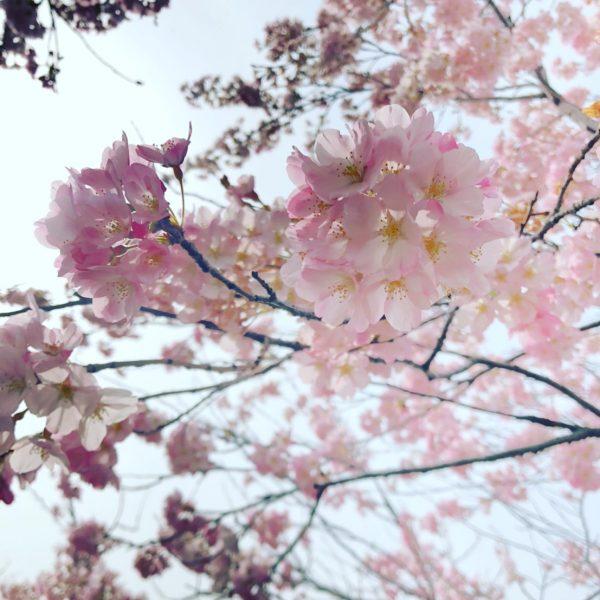駆け足の桜前線